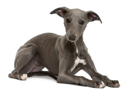 lying in front: Whippet puppy, 6 months old, lying in front of white background Stock Photo