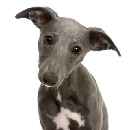 Close-up of Whippet puppy, 6 months old, in front of white background photo