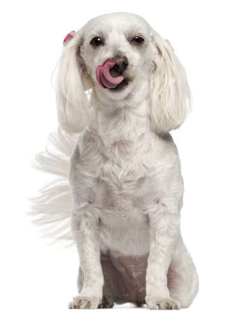 Maltese licking her nose, 3 years old, in front of white background photo