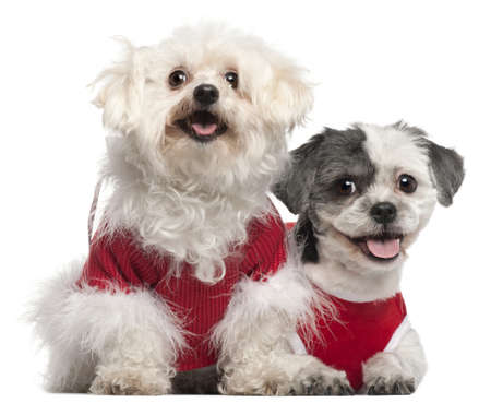Maltese, 6 years old, and Shih Tzu, 5 years old, dressed in red and sitting in front of white background photo