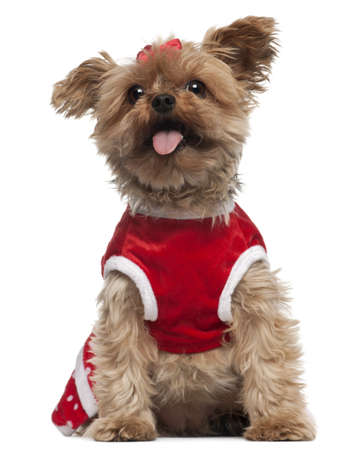 Yorkshire Terrier wearing red, 4 and a half years old, sitting in front of white background photo