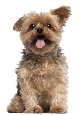 yorkie: Yorkshire Terrier, 4 and a half years old, sitting in front of white background Stock Photo