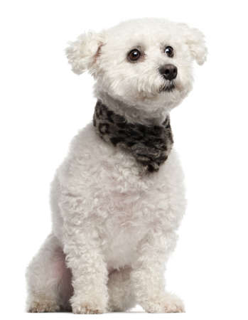 Bichon Frise, 3 years old, sitting in front of white background photo
