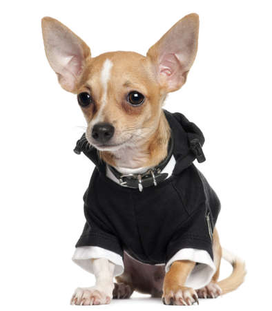 Chihuahua Puppy wearing black hoodie, 5 months old, sitting in front of white background Stock Photo - 11188682