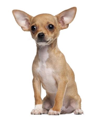 Chihuahua chiot, âgé de 5 mois, assis en face de fond blanc