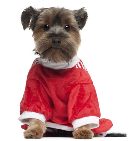 no shirt: Yorkshire Terrier wearing red, 2 years old, sitting in front of white background