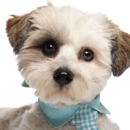 Close-up of Shih Tzu, 8 months old, wearing a tie in front of white background photo
