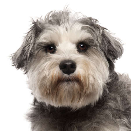 head shots: Close-up of Miniature Schnauzer, 3 years old, in front of white background