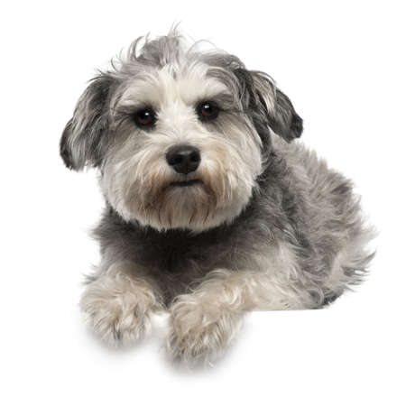 schnauzer: Miniature Schnauzer, 3 years old, lying in front of white background