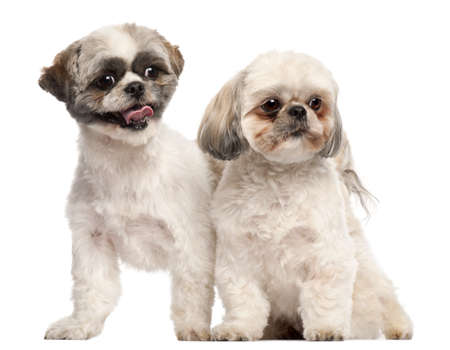 Shih Tzus, 3 years old, in front of white background photo