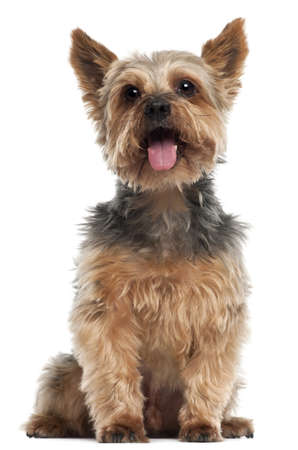 Yorkshire Terrier, 14 and a half years old, sitting in front of white background