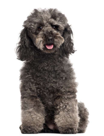 furry: Poodle, 3 years old, sitting in front of white background Stock Photo