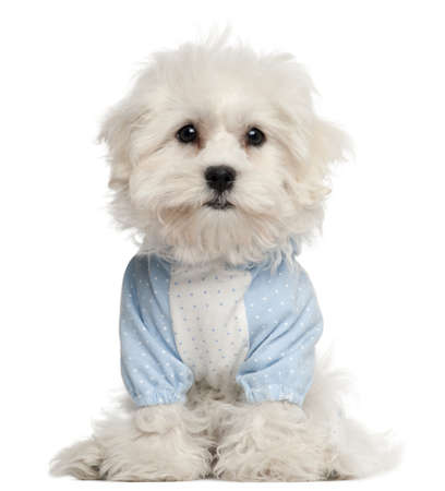 no shirt: Maltese puppy dressed in blue, 3 months old, in front of white background