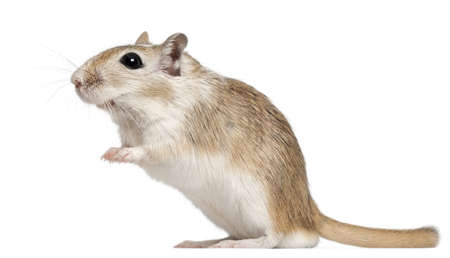 Gerbil, 2 months old, in front of white background
