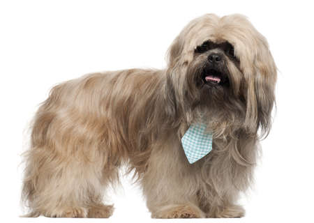 Lhasa Apso wearing a tie and standing in front of white background photo