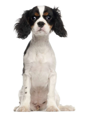 spaniel: Cavalier King Charles Spaniel puppy sitting in front of white background