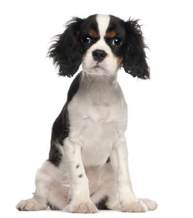 Cavalier King Charles Spaniel puppy sitting in front of white background photo
