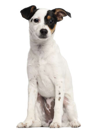 jack russell terrier: Jack Russell Terrier puppy, 5 months old, sitting in front of white background