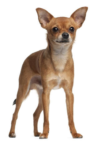 crossbreed: Crossbreed dog standing in front of white background
