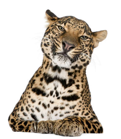 Leopard, Panthera pardus, lying in front of white background photo
