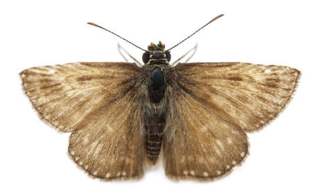 moths: Skipper butterfly in front of white background Stock Photo