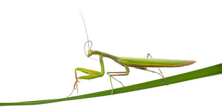 european mantis: Female European Mantis or Praying Mantis, Mantis religiosa, on blade of grass in front of white background