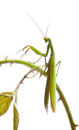 european mantis: Female European Mantis or Praying Mantis, Mantis religiosa, on stem in front of white background