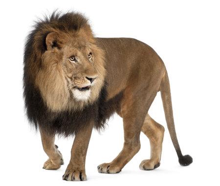 panthera leo: Le�n, Panthera leo, 8 a�os de edad, de pie delante de fondo blanco Foto de archivo