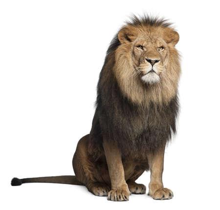 white lion: Lion, Panthera leo, 8 years old, sitting in front of white background