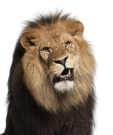 white lion: Close-up of lion, Panthera leo, 8 years old, in front of white background