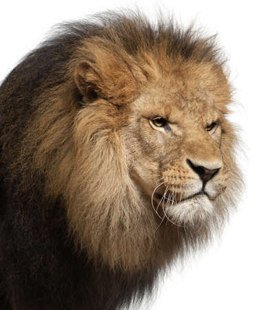 Close-up of lion, Panthera leo, 8 years old, in front of white background Stock Photo - 11568088
