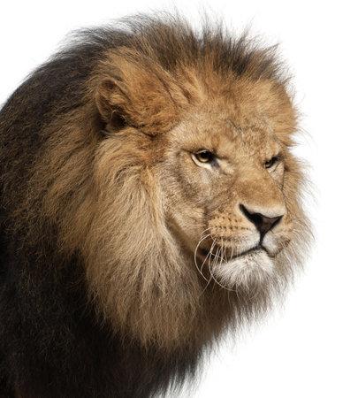 of lions: Primer plano de un le�n, Panthera leo, 8 a�os de edad, delante de fondo blanco
