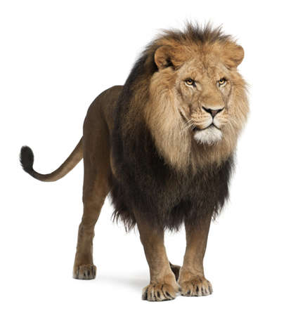 Lion, Panthera leo, 8 years old, standing in front of white background Stock Photo