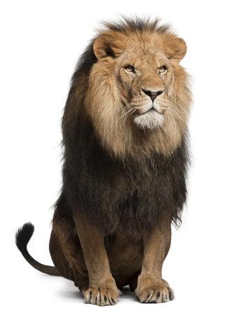 fondo blanco: León, Panthera leo, 8 años de edad, sentado delante de fondo blanco