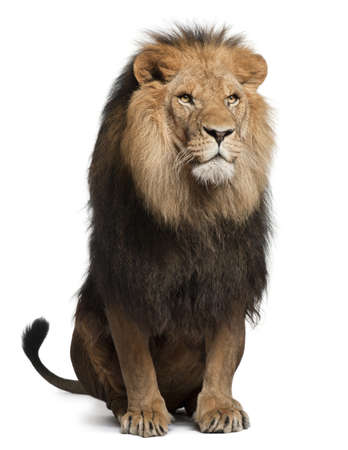 Lion, Panthera leo, 8 years old, sitting in front of white background
