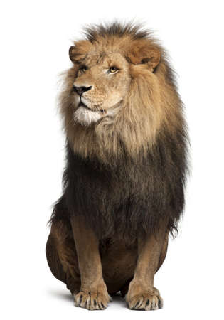 sitting on: Lion, Panthera leo, 8 years old, sitting in front of white background