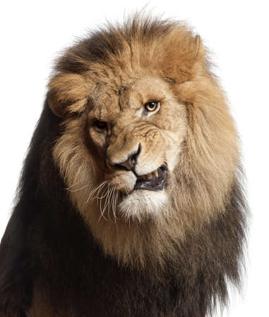 8 years old: Close-up of lion snarling, Panthera leo, 8 years old, in front of white background
