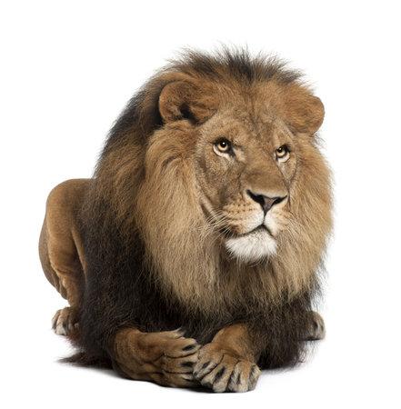 Leeuw, Panthera leo, 8 jaar oud, liggend in voor witte achtergrond