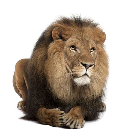 white lion: Lion, Panthera leo, 8 years old, lying in front of white background