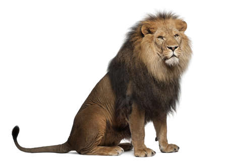 furry tail: Lion, Panthera leo, 8 years old, sitting in front of white background