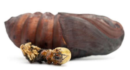cocoon: Giant Peacock Moth pupa removed from cocoon, Saturnia pyri, next to its moulting in front of white background Stock Photo