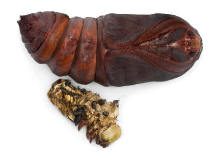 molting: Giant Peacock Moth pupa removed from cocoon, Saturnia pyri, next to its moulting in front of white background Stock Photo
