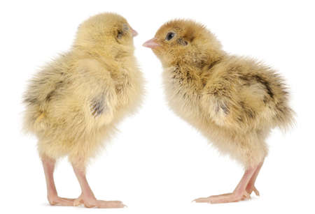 japanese quail: Two Japanese Quail, also known as Coturnix Quail, Coturnix japonica, 3 days old, in front of white background