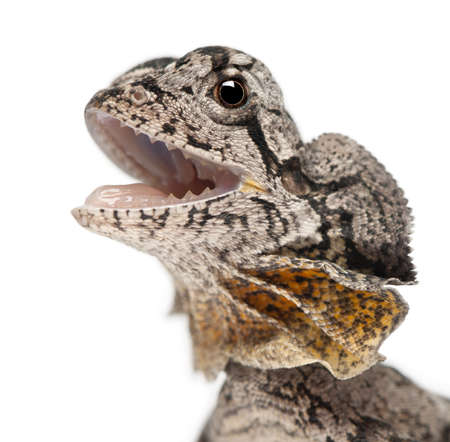 frilled: Close-up of Frill-necked lizard also known as the frilled lizard, Chlamydosaurus kingii, in front of white background