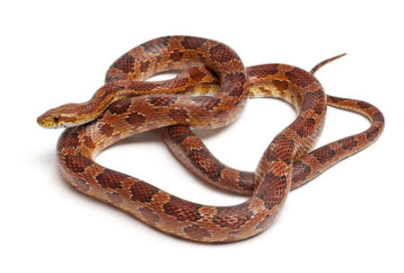 Classical Corn Snake or Red Rat Snake, Pantherophis guttatus, in front of white background photo