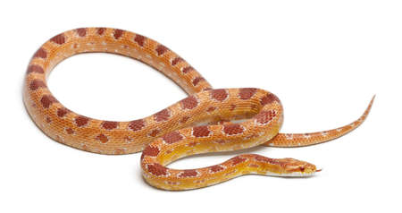 slithering: Okeetee albinos Corn Snake, Red Rat Snake,  Pantherophis guttatus, in front of white background