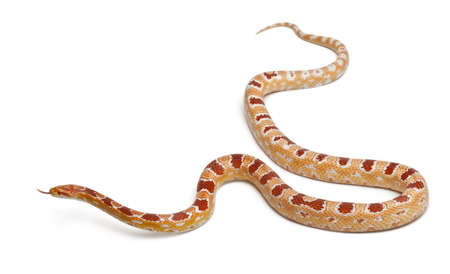 slithering: Okkeetee albinos reverse Corn Snake or Red Rat Snake, Pantherophis guttatus, in front of white background