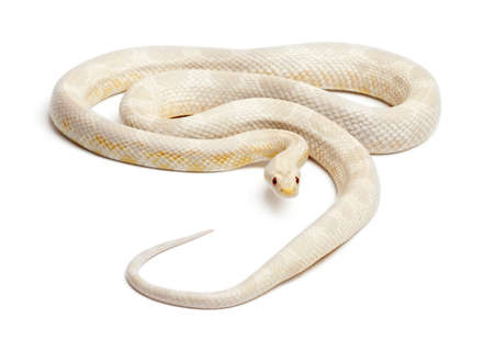 Snow Corn Snake or Red Rat Snake, Pantherophis guttatus, in front of white background photo