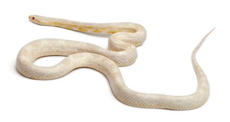 slithering: Snow Corn Snake or Red Rat Snake, Pantherophis guttatus, in front of white background