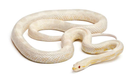 Snow Corn Snake or Red Rat Snake, Pantherophis guttatus, in front of white background Stock Photo - 11568358